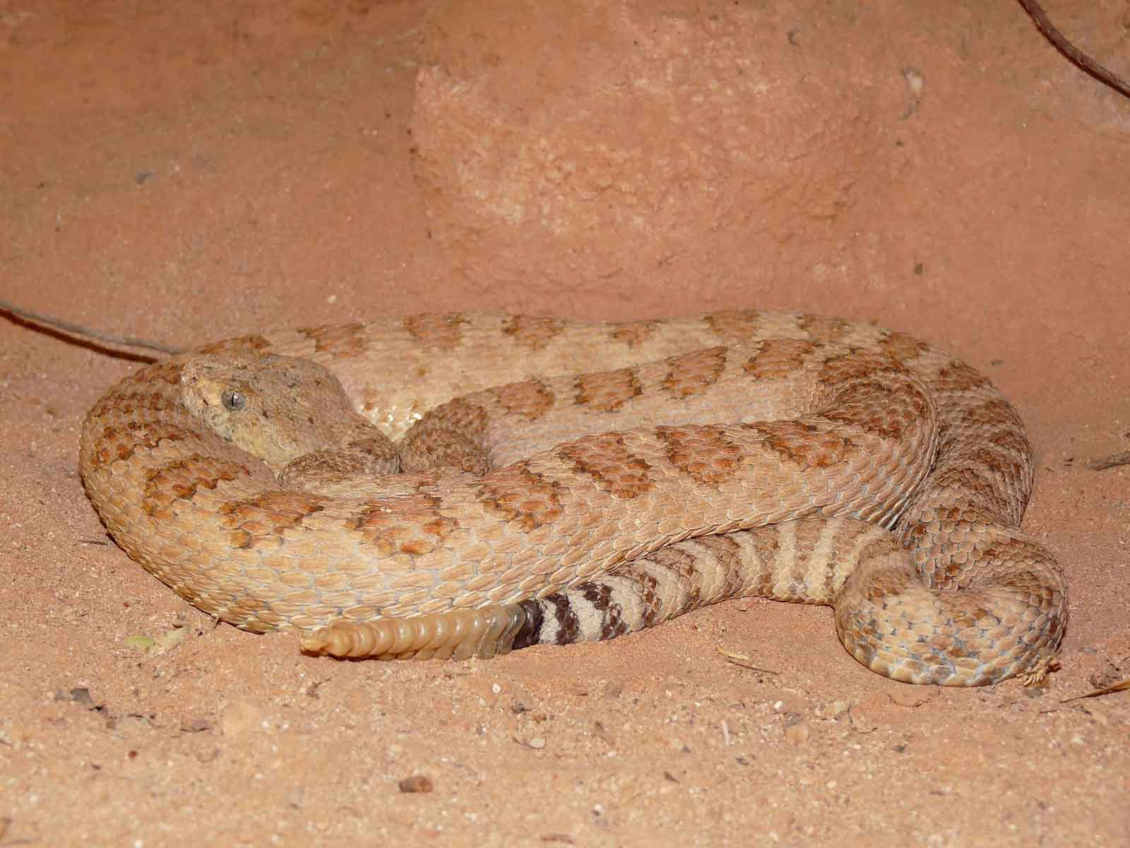 facts about the grand canyon pink snake