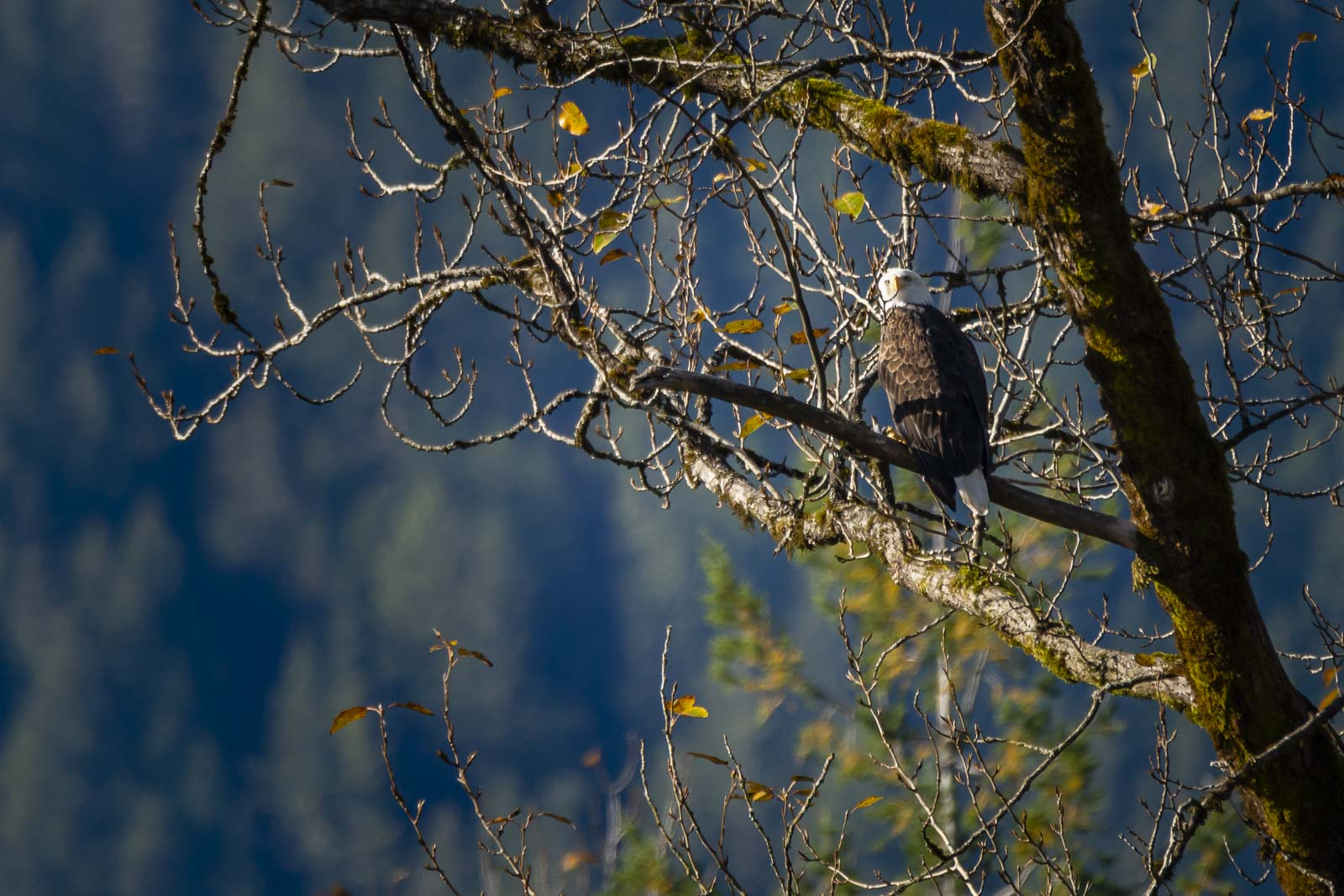 Bald Eagles on the Squamish River